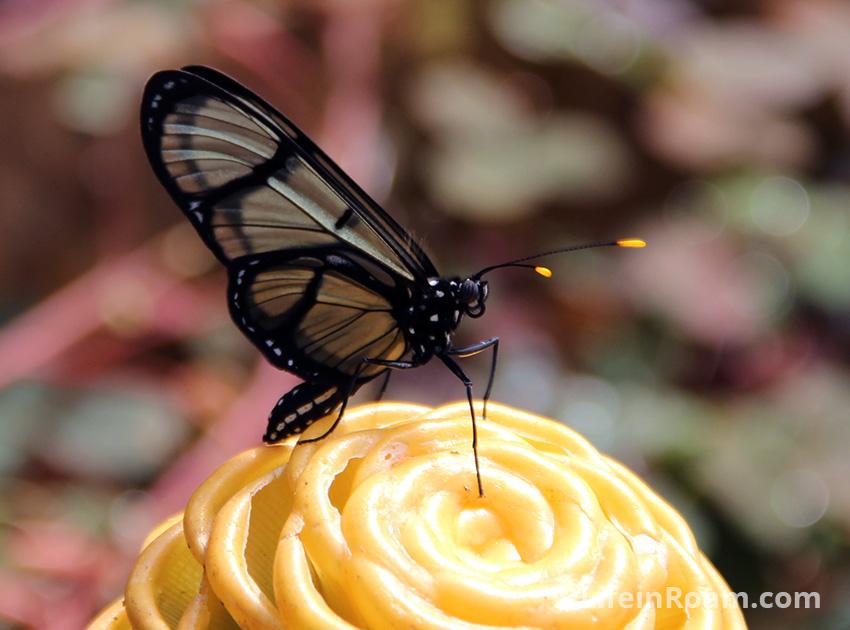 BLogMindoButterflies_075